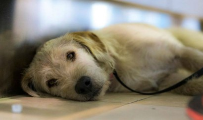 Conoce a Arthur, el perro callejero que recorrió 700 kilómetros